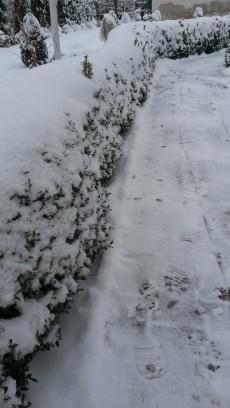 Żywopłot z bukszpanu przysypany śniegiem