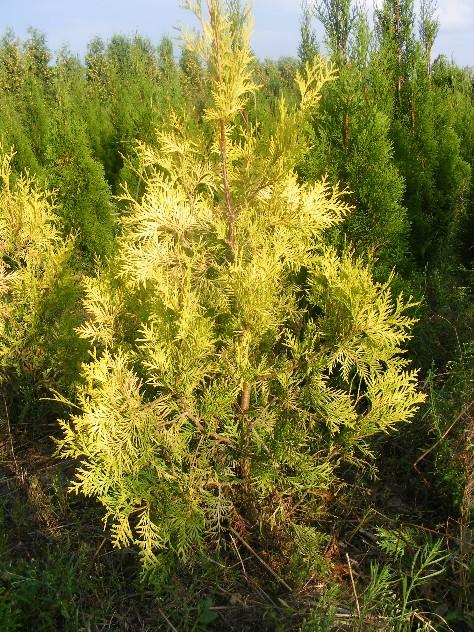 Thuja Aurescens