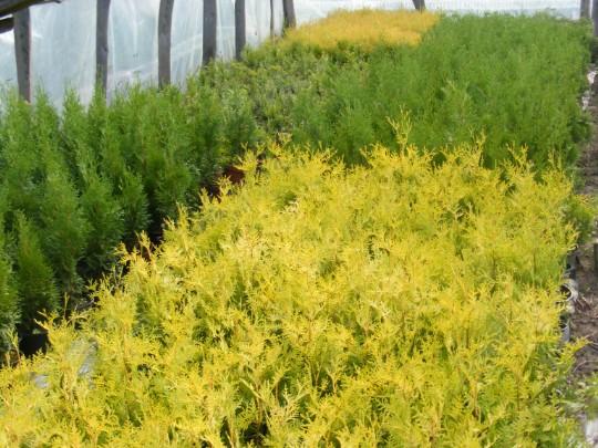 Tuja Aurescens w szkółce