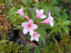 Kwitnąca krzewuszka Styriaca