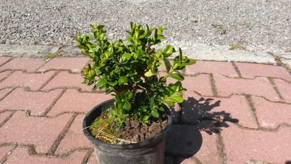 Bukszpan rotundifolia