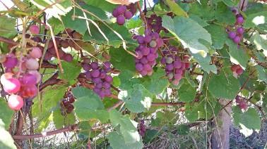 Winorośl chrupka różowa