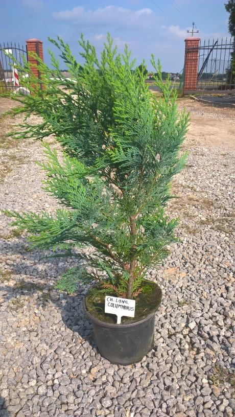 Cyprysik lawsona columnaris