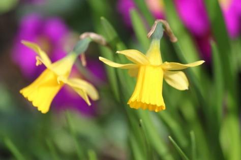 Żółte kwiaty narcyzów trąbkowych