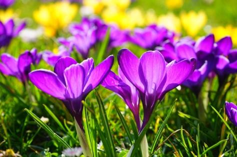 Kwiaty fioletowych krokusów