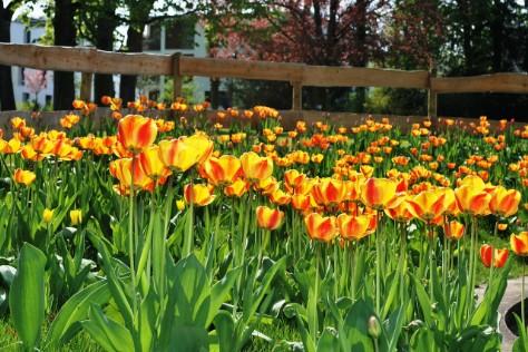 Kolorowe tulipany w ogrodzie