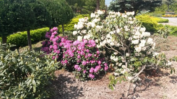 Różaneczniki rododendron