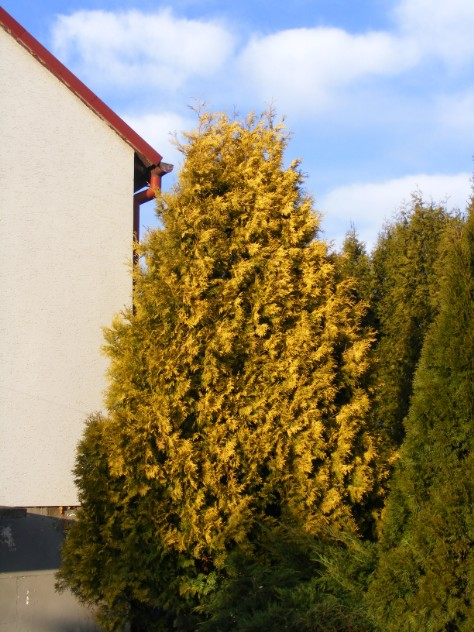 Tuja aurescens 20 lat